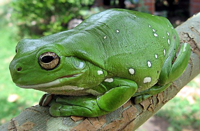 Coral Tree Frog