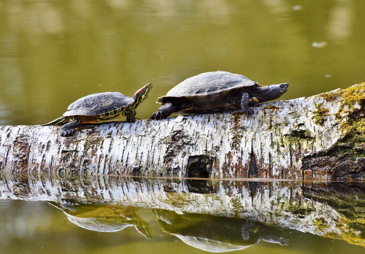 Turtles Walking